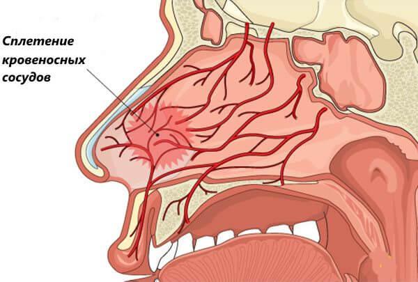 Сплетение кровеносных сосудов носа